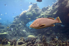 coddfish Royaltyfria Foton