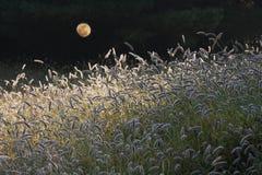 Code di volpe nell'ambito di luce della luna Fotografie Stock Libere da Diritti