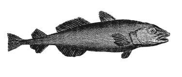 codfish ilustracja wektor