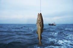 codfish Royaltyfri Bild