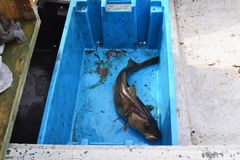 Codfish. Catch of the day. Codfish in a fisherman`s crate Stock Photography