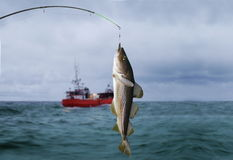 Codfish. On fishing-rod on background of sea Stock Photography