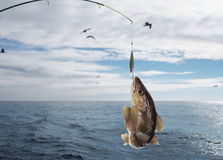 Codfish. On fishing-rod on background of sea Royalty Free Stock Image