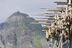 Codfishes drying in Lofoten Islands Stock Photography