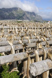 Codfishes drying in Lofoten Islands Stock Images