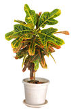Codiaeum pictum. Royalty Free Stock Photography