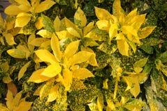 Codiaeum varicgatum in tropical climate garden. Codiaeum varicgatum, yellow bush plant decorated in tropical climate garden Stock Photos