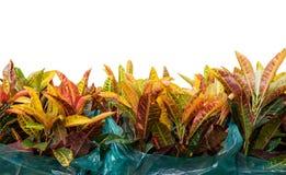 Codiaeum variegatium L Blume oder veränderter Lorbeer, Garten Crotonanlage in der Plastiktasche lizenzfreies stockbild