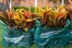 Codiaeum variegatium L Blume oder veränderter Lorbeer, Garten Crotonanlage in der Plastiktasche stockbild