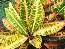 Codiaeum variegatium plant. In nature garden royalty free stock photos