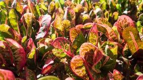 Codiaeum variegatum或庭院巴豆Petra特写镜头叶子在作为背景的庭院里 库存图片