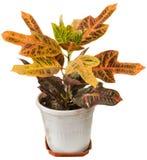 Codiaeum variegatum. Stock Images