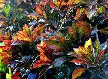 Codiaeum variegatum Background. Codiaeum variegatum (Variegated Croton) close up Royalty Free Stock Photography