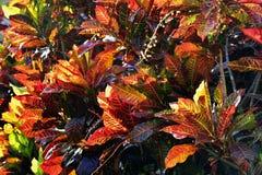 Codiaeum variegatum Background. Codiaeum variegatum (Variegated Croton) close up Royalty Free Stock Photo