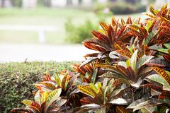 Codiaeum variegatum Royalty Free Stock Images