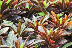 Codiaeum variegatum Stock Photos