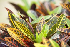 Codiaeum variegatum Stock Photography