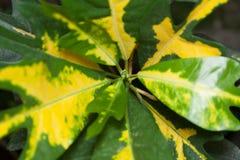 Codiaeum variegatum/ Codiaeum/ Croton/ Codiaeum gold sun or vari. Beautiful Codiaeum variegatum/ Codiaeum/ Croton/ Codiaeum gold sun or variegated indoor flower Royalty Free Stock Images