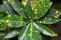 Codiaeum variegatum/ Codiaeum/ Croton/ Codiaeum gold sun or vari. Beautiful Codiaeum variegatum/ Codiaeum/ Croton/ Codiaeum gold sun or variegated indoor flower Royalty Free Stock Photography