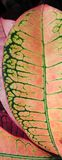 Codiaeum variegatum (Croton). Bright green veins standout against redish leaves of a Croton Stock Images