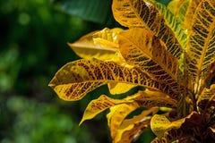 Codiaeum variegatum or croton. Close-up leaves of Codiaeum variegatum or croton plant Stock Photography
