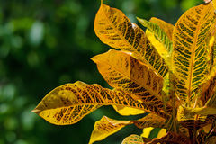 Codiaeum variegatum or croton Stock Photography