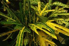 Codiaeum variegatum Croton-Strauch ist ein einzelnes Blatt, das abwechselnd vereinbart wird Hat ein flaches oder ein tief stockfotos