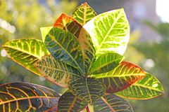 Codiaeum variegatum garden croton. Or variegated croton, Croton leaves on branch royalty free stock image
