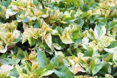 Codiaeum variegatum or Garden Croton Petra in Garden as background Stock Photo
