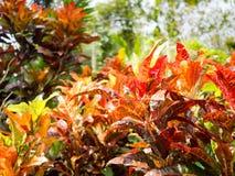 Codiaeum variegatum or Garden Croton Petra in Garden as background.  Royalty Free Stock Images