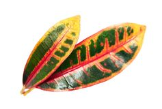 Codiaeum variegatum garden croton or variegated croton foliage, Close up of croton leaves isolated on white background. With clipping path Royalty Free Stock Images