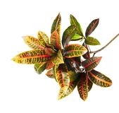 Codiaeum variegatum garden croton or variegated croton foliage, Close up of croton leaves isolated on white background. With clipping path stock image