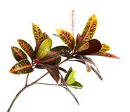 Codiaeum variegatum garden croton foliage with flowers, Croton leaves on branch isolated on white background. Codiaeum variegatum garden croton or variegated Royalty Free Stock Photos