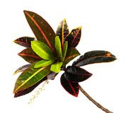 Codiaeum variegatum garden croton foliage with flowers, Croton leaves on branch isolated on white background. Codiaeum variegatum garden croton or variegated Stock Photography