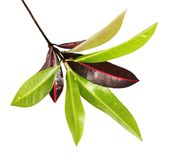 Codiaeum variegatum garden croton foliage with flowers, Croton leaves on branch isolated on white background. Codiaeum variegatum garden croton or variegated Royalty Free Stock Photography