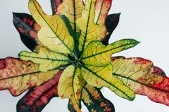 Flower leaves of Codiaeum variegatum royalty free stock photo