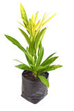 Codiaeum variegatum Royalty Free Stock Photography