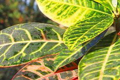 Codiaeum variegatum garden croton or variegated croton. Croton leaves on branch stock images