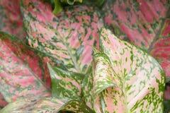 Codiaeum variegatum,Gran Canaria at hk. The codiaeum variegatum,Gran Canaria at hk Royalty Free Stock Images