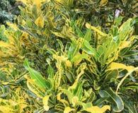 Codiaeum variegatum L. Blume in park.  Royalty Free Stock Images