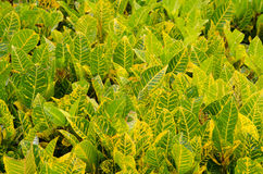 Codiaeum variegatum leaf Royalty Free Stock Photos