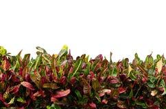 Codiaeum variegatum leaves. Isolated on white background Stock Photo