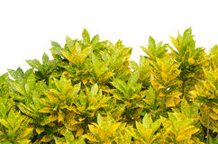 Codiaeum variegatum. Leaves isolated on white background Stock Images