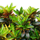 Codiaeum variegatum leaves Stock Photography
