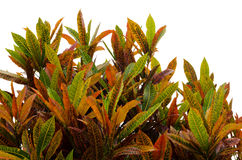 Codiaeum variegatum leaves Stock Photos