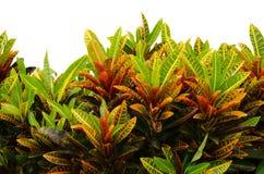 Codiaeum variegatum leaves. On white background Stock Images