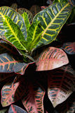 Codiaeum variegatum. Native to southeast Asia and Australia Stock Image