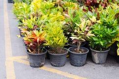 Codiaeum variegatum in pot Stock Images