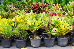 Codiaeum variegatum in pot Royalty Free Stock Image