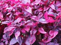 Codiaeum variegatum Purple and red leaves. Close up Stock Photos